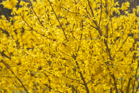 detailed view: Detailed view of forsythia, symbol of spring.