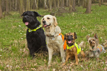Group of dogs are sitting in the forest. The the dog are wearing a reflective vest. Standard-Bild