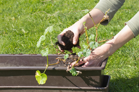 Gardening. Transplanting geraniums in a pot. Female hands transplanting in a pot. Outdoors. photo