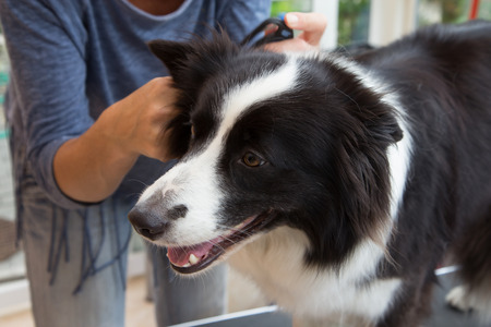 herding dog: Grooming of Border Collie with grooming tools.