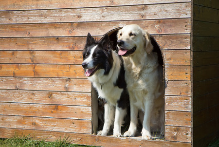Border collie and Golden Retriever are standing at wooden doghouse. Stock Photo
