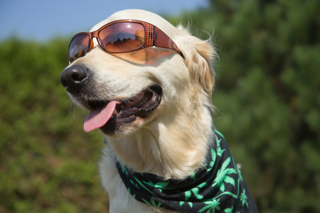 Golden Retriever is smiling for the camera. Sunglasses has on his eyes and scarf textured cannabis leaves has around his neck.