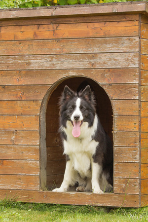 Border collie is standing in wooden doghouse. photo