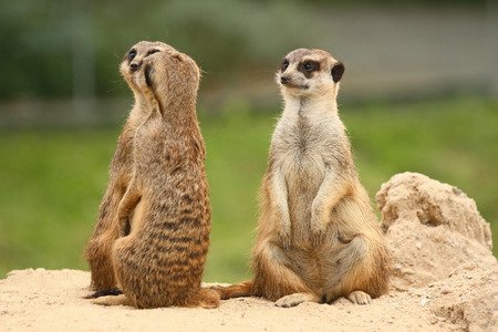 third wheel: A pair of meerkats. The third Meerkat is sitting behind them. A fifth wheel in the  meerkats community. Stock Photo