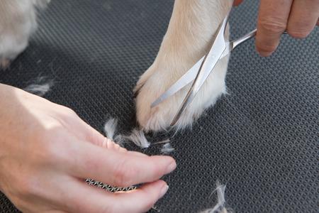 Grooming Golden Retriever Hund. Nahaufnahme des Trimm Pfoten von Schere. Der Hund ist auf einem schwarzen Tisch. Standard-Bild - 36475806