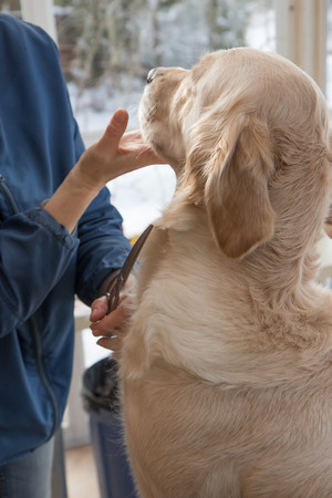 groomer: Grooming Golden Retriever dog. The dog is sitting on the table and looking at the groomer. Stock Photo