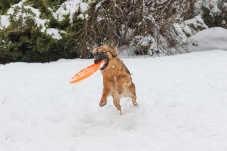 frisbee: Brown dog is catching orange frisbee in winter.