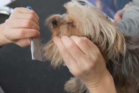 Dog grooming. Combing beard of Yorkshire Terrier.