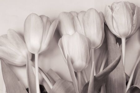 deliberately: Monochromatic photo of the bouquet of tulips. Photo is deliberately softly blurred.