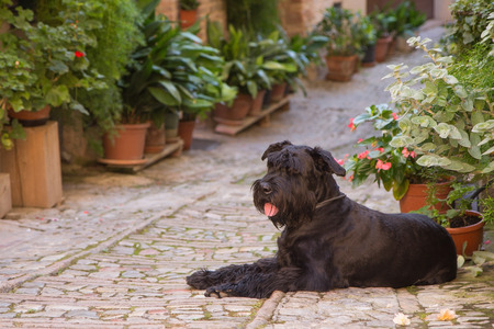 spello: Big Black Schnauzer dog is lying in the street decorated with plants and flowers in the historic Italian city. (Spello, Umbria, Italy.)