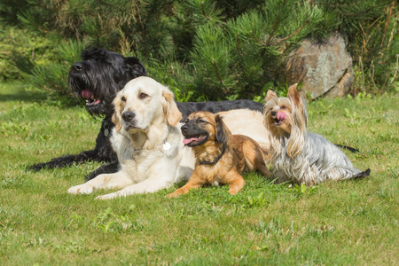 The group of dogs is lying on the lawn. Yorkshire Terrier has protruding tongue. Stock Photo
