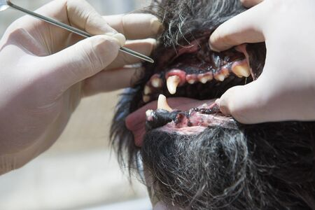 gingivitis: The vet is using the tool for the treatment of gingivitis in the open mouth of the dog under anesthesia.