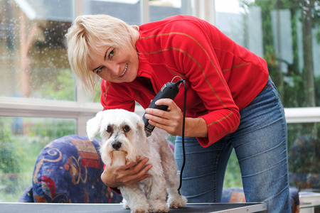 maltese dog: Smiling blonde middle-aged woman is grooming a white maltese dog by electric dog razor. All potential trademarks are removed.