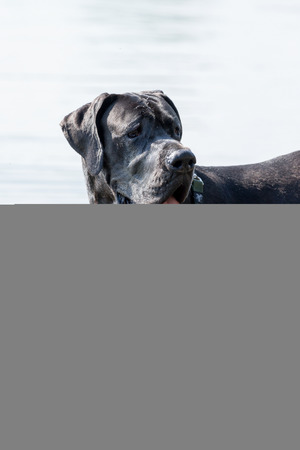 protruding: Side view of a Great Dane dog standing in water with protruding tongue.