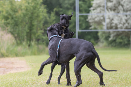 great dane: Black Great Dane dogs are are playing at the lawn Stock Photo