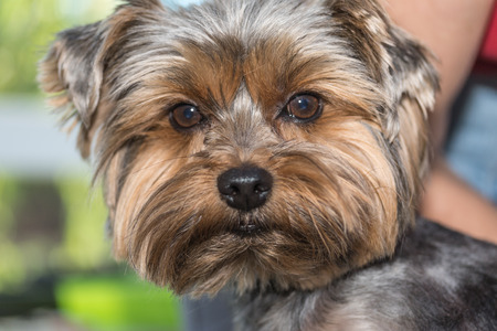 looking directly at camera: Closeup portrait of the yorkshire terrier. Front view, the dog is looking directly into the camera. Stock Photo