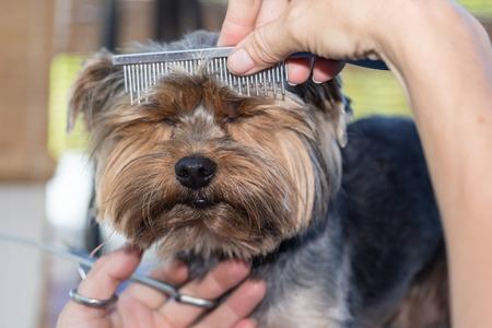 Vooraanzicht van het hoofd van de Yorkshire terriër, die het kammen door de groomer vrouw. De hond heeft gesloten ogen schattig.