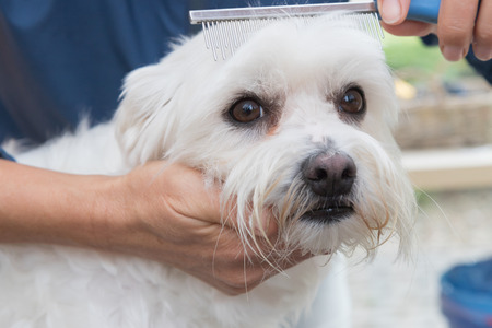 maltese dog: The cute white Maltese dog is in dog salon. Dog is combing by female groomer and is looking to the camera. Stock Photo