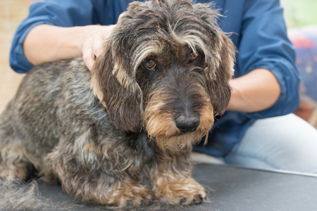 sadly: The Dachshund wire haired is sadly looking at the camera during grooming.