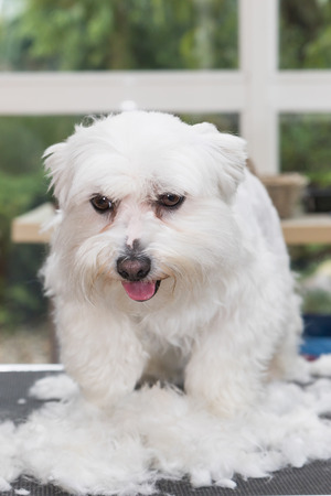 maltese dog: The cute white Maltese dog is standing in a pile of cut hair on the grooming table Stock Photo