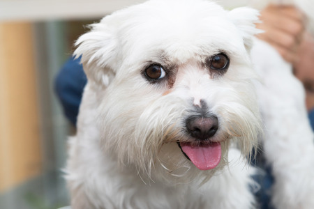 combing: The cute white Maltese dog is combing by female groomer and is looking to the camera. Stock Photo