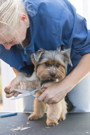 groomer: Blonde groomer woman is grooming a paw of cute Yorkshire terrier.