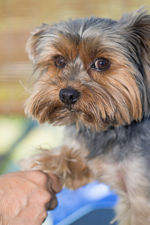foreleg: Woman is grooming a foreleg of the Yorkshire terrier. The dog is looking to the camera. Stock Photo