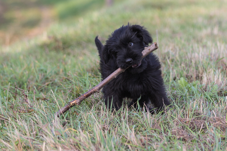 black giant: Lovely puppy of Giant Black Schnauzer Dog is holding a stick in its mouth.
