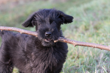 black giant: Cute puppy of Giant Black Schnauzer Dog is holding a stick in its mouth. The puppy is looking at the camera.