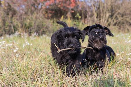 black giant: Couple of cute puppy and old dog of Giant Black Schnauzer is lying iin the autumn grass. The puppy is holding a stick in its mouth and s running to the camera.