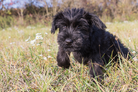 black giant: Closeup view of a cute puppy of Giant Black Schnauzer Dog is jumping in the autumn grass. Stock Photo