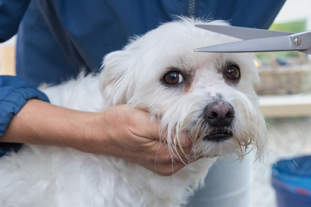 maltese dog: Trimming hair on the head of the cute white Maltese dog by scissors. The dog is looking at the camera. Stock Photo