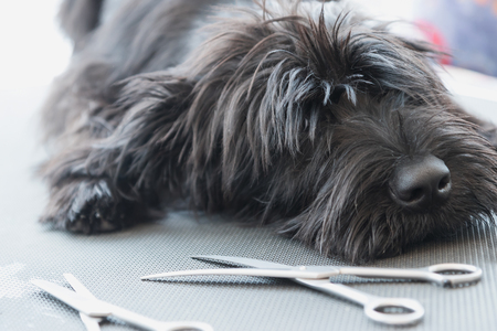 dog grooming: Portrait of a cute Schnauzer lying on the grooming table with scissors lying in front of him Stock Photo