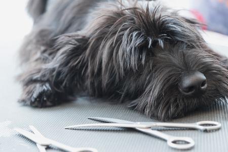 Portret van een schattig Schnauzer liggend op de trimtafel met een schaar liggen in de voorkant van hem Stockfoto