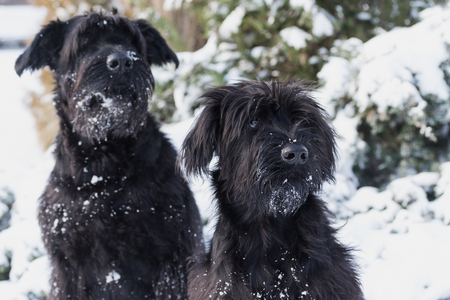 black giant: Winter portrait of a pair of black Giant Schnauzer with snow on their beard.
