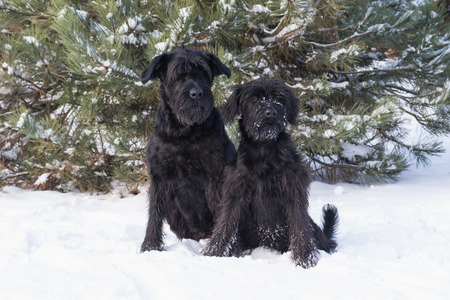 black giant: Winter portrait of a pair of black Giant Schnauzer dog sitting on snow.