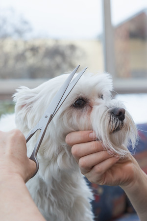 groomer: Side view of grooming fringe of white Maltese dog by scissors. Dog is sitting on the grooming table and looking at the groomer