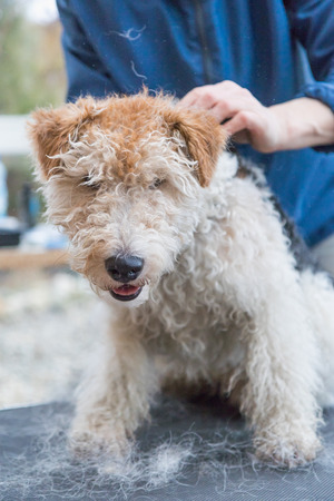 grooming: Front view of the start of trimming of the Fox Terrier. Dog is sitting on the grooming table. Stock Photo