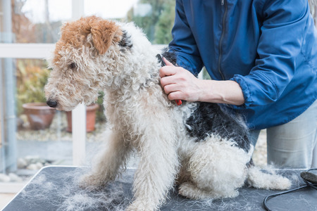 Side view of trimming of the Fox Terrier. Dog is sitting on the grooming table and is looking ahead.