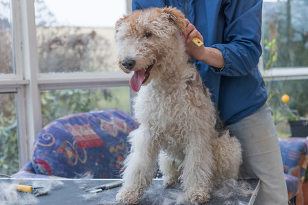 grooming: General view of the trimmed  Fox Terrier dog before the final grooming of the head. Dog is sitting on the grooming table with an open mouth. Groomer is standing behind the dog Stock Photo