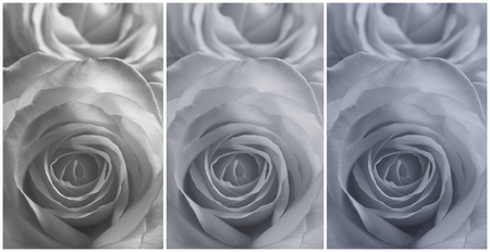 tinge: Collage of three closeup view of the flower of a rose in a grey tinge. Stock Photo