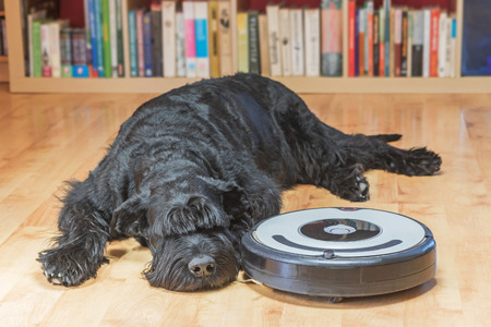 Bored Giant Black Schnauzer dog is lying next to the robotic vacuum cleaner on the floor.