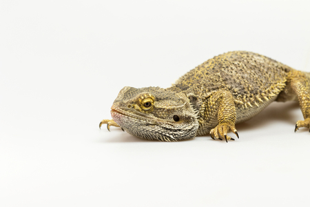 bowed head: Closeup side view of Agama lizard lyiing on a light background. Agama has bowed head. The free space fot your text is on the left side of the photo. Stock Photo
