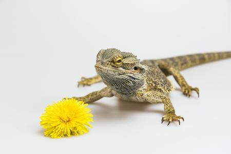 boca cerrada: Agama lagarto está de pie sobre el fondo claro. La flor amarilla del diente de león está mintiendo en frente de ella. Agama tiene la boca cerrada. Todo es sobre un fondo claro. Foto de archivo