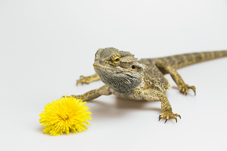 closed mouth: Agama lizard is standing on the light background. The yellow blossom of dandelion is lying in front of her. Agama has a closed mouth. Everything is on a light background.
