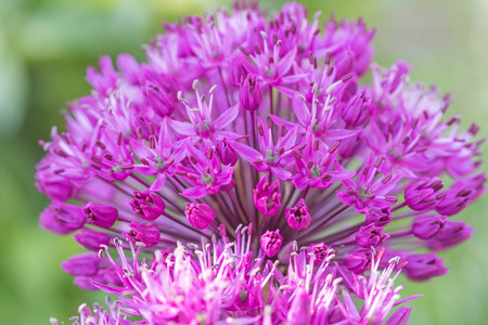 globular: The full bloom of purple flowering ornamental onion. Flower has a circular shape. Stock Photo