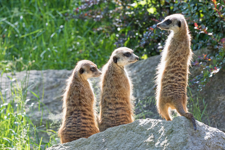 Trinity of Meerkats sitting on a rock in the upright position. The two are looking to the right and one on the left Stock Photo