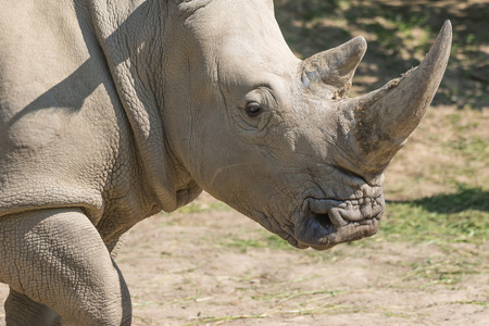 reserve: Closeup view of the head of the rhinoceros.