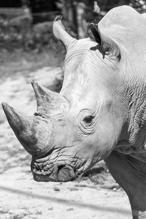 perilous: Monochrome closeup view of the head of the rhinoceros. Vertically.