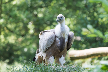 wingspan: Portrait of the Gyps himalayan standing in the grass. The bird is looking at the camera.